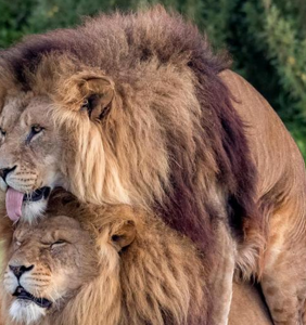 Two male lions photographed in… a particiarly intimate circumstance