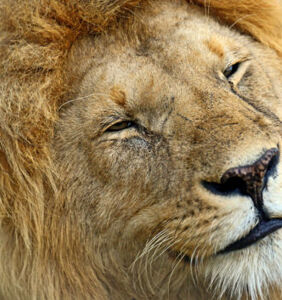 These 'gay lions' aren't just having sex, they're giving each other cat kisses