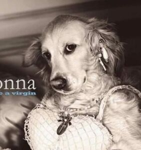 French fashion photographer recreates all of Madonna's iconic looks… with his golden retriever Max