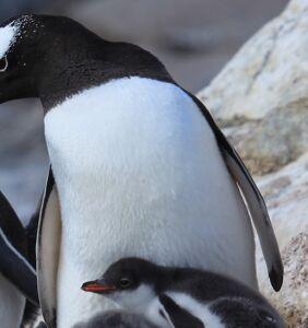 Twitter is loving this pair of same-sex Australian penguins raising their own egg
