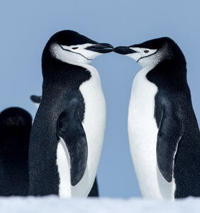Tango and Silo, the gay penguins from 'And Tango Makes Three,' are officially ex-gay