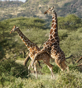 Excerpt: Why are Giraffes mostly homosexual?