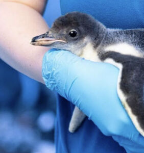 Same-sex penguin couple raise gender-neutral chick together